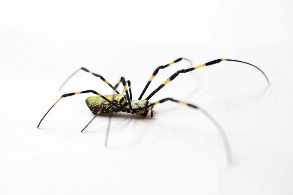 Why Are Humans Scared Of Spiders Bad Ass Ape